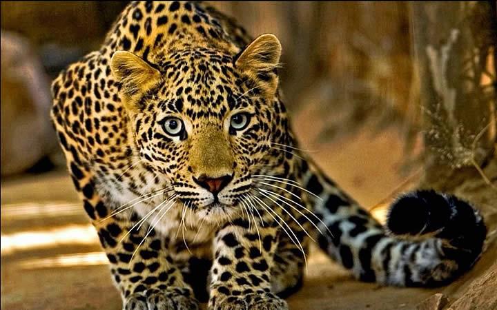 Onça pintada -Pantanal
