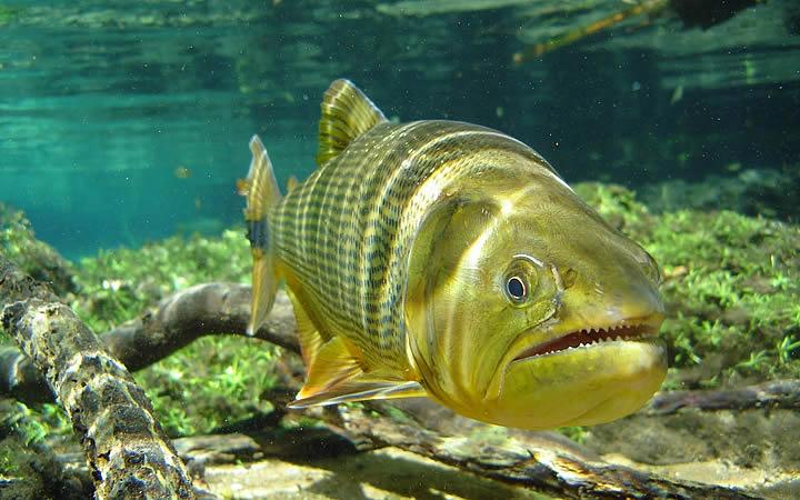 Peixe Dourado - Pantanal