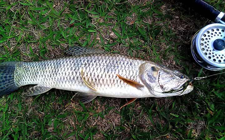 Peixe Traíra - Pantanal