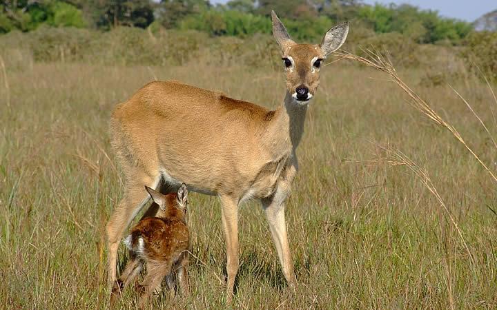 Veados - Pantanal