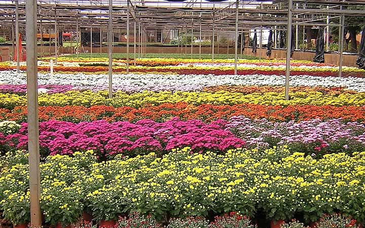 Venha Conhecer Holambra A Cidade Das Flores Em São Paulo