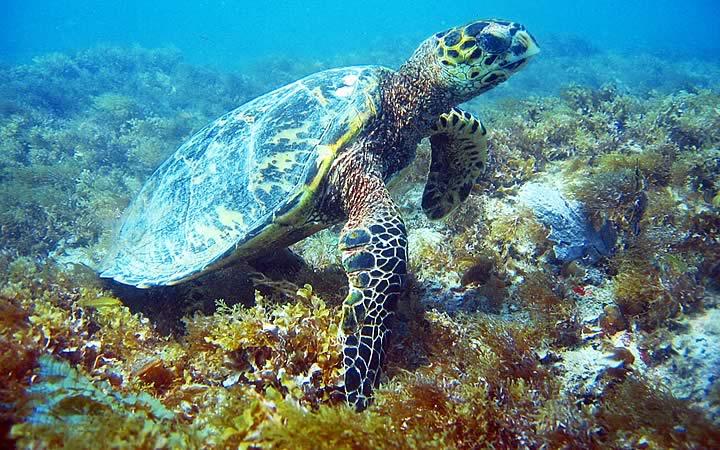Vida marinha em Abrolhos - Tartaruga