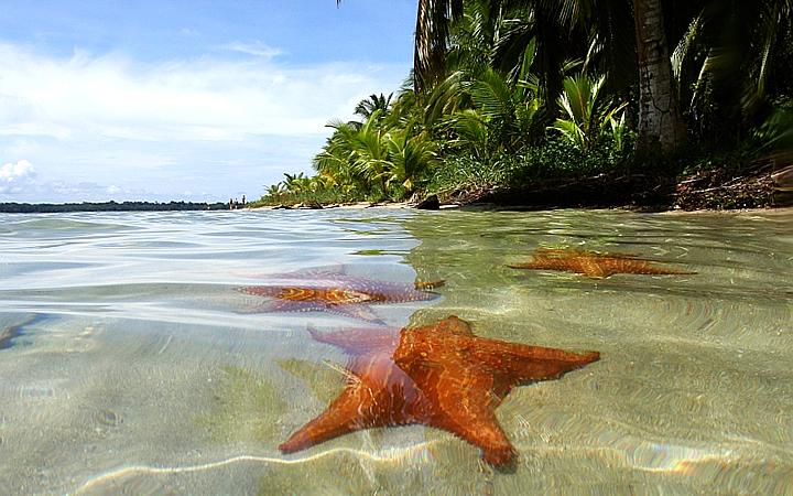 Plata estrella - Estrela do Mar - Bocas del Toro