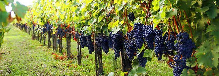 Parreiras de uva