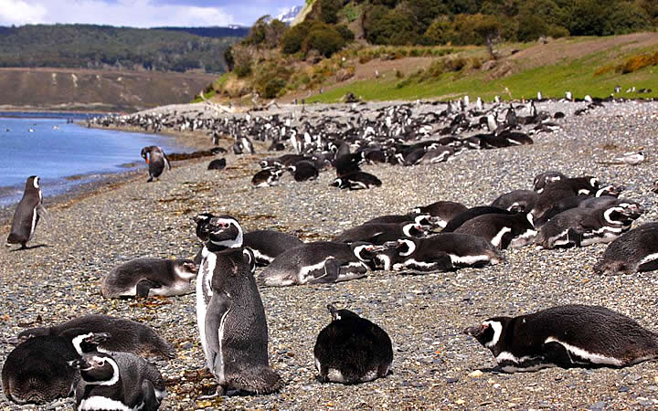 Pinguins de Isla Martillo