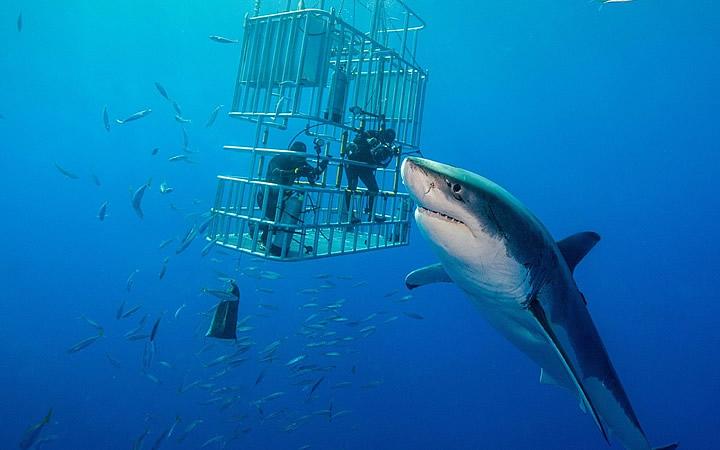 Nadando com o tubarão branco