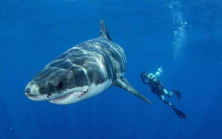 Nandando com tubarão