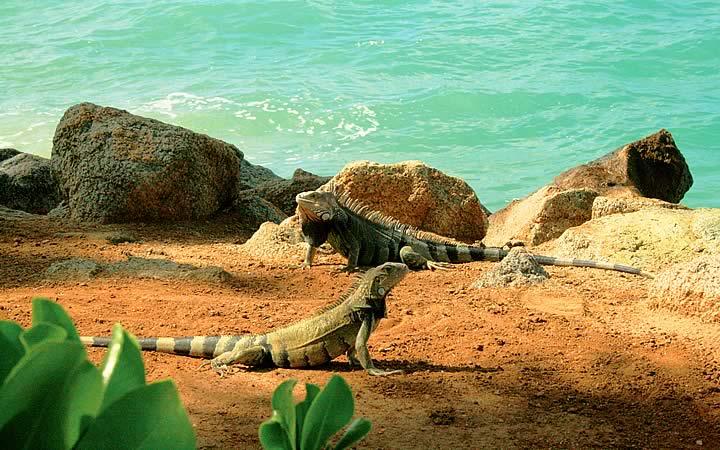 Parque Nacional de Arikok - Iguanas