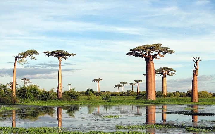 Árvores Grandes - Natureza de Madagascar
