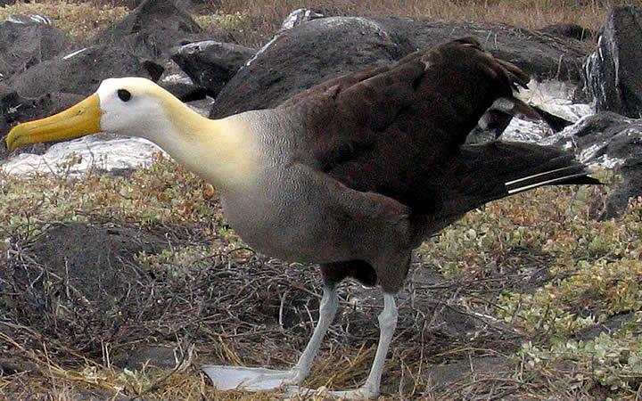 Albatroz em Galápagos