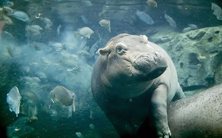 Cincinnati Zoo - Hipopótamos