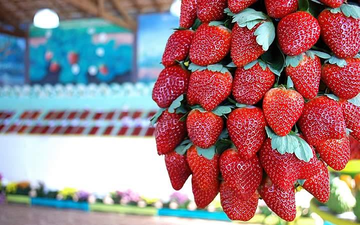 Morangos - Festa das Flores e Morangos em Atibaia