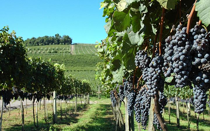 Plantação de uva em Garibaldi