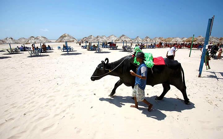 Búfalo andando na Praia do Pesqueiro
