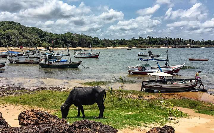 Búfalo comendo grama em frente a uma praia na Ilha do Marajó