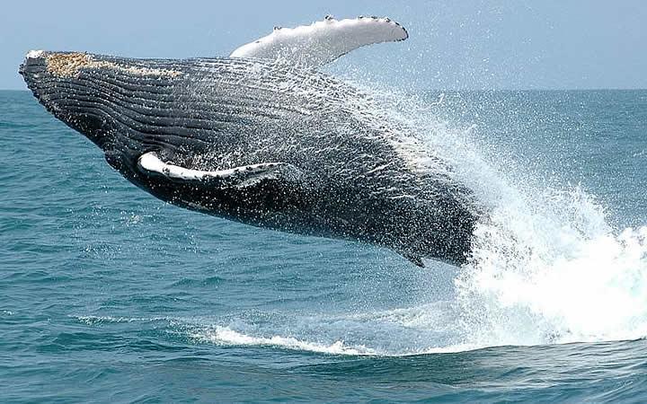 Baleias jubarte em Corumbau