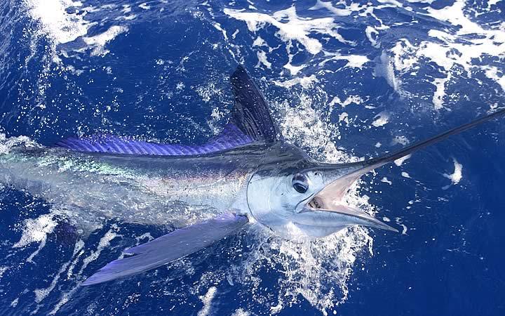 Peixe em Marlin Azul