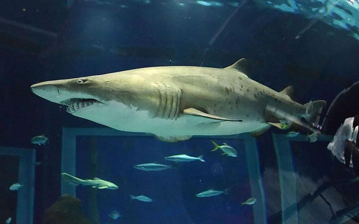AquaRio - Tubarão