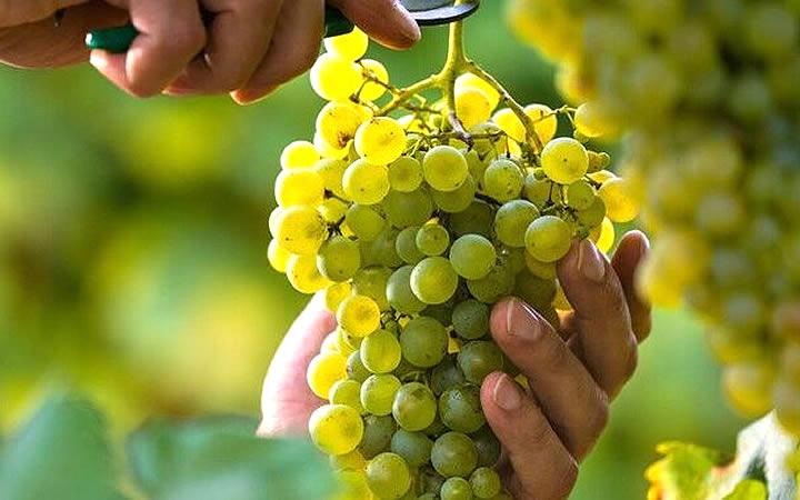 Pessoa cortando cacho de uva
