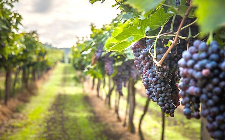 Plantações de uva