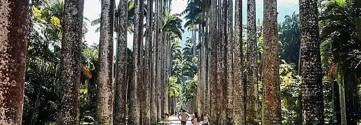 Corredor de Palmeiras no Jardim Botânico RJ
