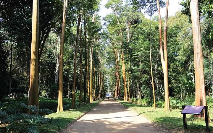 Pau Mulato no Jardim Botânico