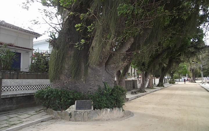 Árvore da Maria Gorda na Ilha de Paquetá