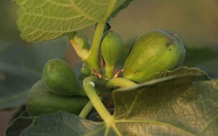 Plantação de figo no Sitio Kusakariba
