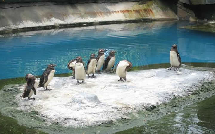 Pinguins no ZooAquariu